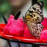 Συνεδρίαση πεταλούδων στο φρέσκο καρπούζι Στοκ Φωτογραφίες