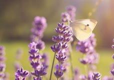 Συνεδρίαση πεταλούδων lavender στο λουλούδι Στοκ Εικόνες