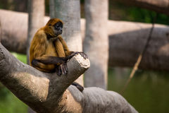 Συνεδρίαση πιθήκων αραχνών στο δέντρο στοκ εικόνες