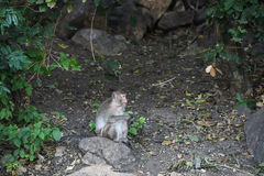 Συνεδρίαση πιθήκων στην πέτρα στο δάσος, πίθηκος Ταϊλάνδη Στοκ Εικόνες