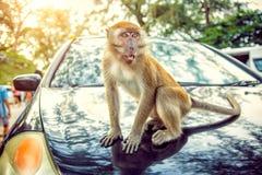 Συνεδρίαση πιθήκων Macaque με το αυτοκίνητο και κατανάλωση των τροφίμων Στοκ Φωτογραφία