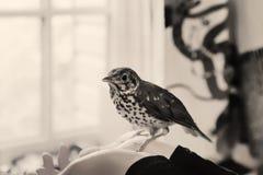 Συνεδρίαση πουλιών ανθρώπινα χέρια Στοκ φωτογραφία με δικαίωμα ελεύθερης χρήσης