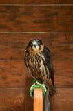 Συνεδρίαση πουλιών γερακιών χόμπι σε μια πέρκα Στοκ Φωτογραφίες