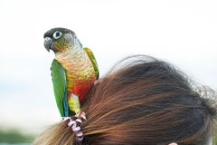Συνεδρίαση πουλιών παπαγάλων στις επικεφαλής γυναίκες Στοκ Φωτογραφίες