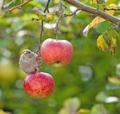 Συνεδρίαση πουλιών σε ένα κόκκινο μήλο Στοκ φωτογραφία με δικαίωμα ελεύθερης χρήσης