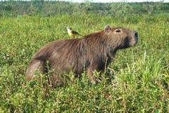 Συνεδρίαση πουλιών στην πλάτη των capybaraστοκ φωτογραφία με δικαίωμα ελεύθερης χρήσης