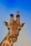 Συνεδρίαση πουλιών giraffe στοκ εικόνες με δικαίωμα ελεύθερης χρήσης