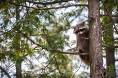 Συνεδρίαση ρακούν σε ένα δέντρο Στοκ Εικόνα