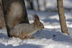 Συνεδρίαση σκιούρων στο χιόνι Στοκ Εικόνες