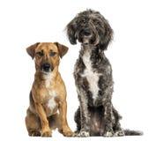 Συνεδρίαση σκυλιών και γρύλων διασταύρωσης της Βρετάνης Briard russel από κοινού Στοκ εικόνες με δικαίωμα ελεύθερης χρήσης