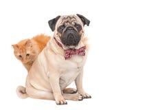 Συνεδρίαση σκυλιών μαλαγμένου πηλού σε έναν κόκκινο δεσμό τόξων και μια οπίσθια κόκκινη γάτα που απομονώνονται στο άσπρο υπόβαθρο Στοκ Φωτογραφία
