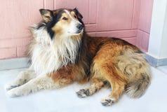 Συνεδρίαση σκυλιών Lassie Στοκ εικόνες με δικαίωμα ελεύθερης χρήσης