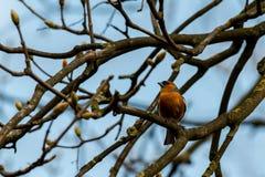 Συνεδρίαση της Robin redbreast σε ένα δέντρο Στοκ Φωτογραφίες