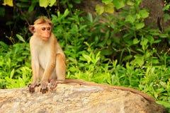 Συνεδρίαση τοκών macaque σε έναν βράχο στο ναό σπηλιών σε Dambulla, Sri Στοκ Εικόνες