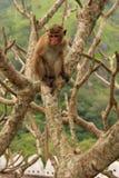 Συνεδρίαση τοκών macaque σε ένα δέντρο στο ναό σπηλιών σε Dambulla, Sri Στοκ φωτογραφία με δικαίωμα ελεύθερης χρήσης