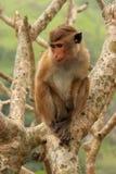 Συνεδρίαση τοκών macaque σε ένα δέντρο στο ναό σπηλιών σε Dambulla, Sri Στοκ εικόνα με δικαίωμα ελεύθερης χρήσης