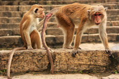 Συνεδρίαση τοκών macaques στο ναό σπηλιών σε Dambulla, Σρι Λάνκα Στοκ εικόνα με δικαίωμα ελεύθερης χρήσης