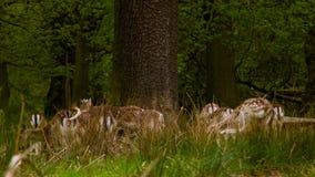 Συνεδρίαση του Deers αγραναπαύσεων στο μεγάλο δέντρο απόθεμα βίντεο