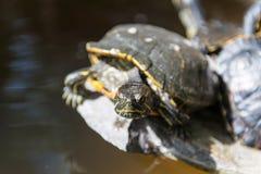 Συνεδρίαση χελωνών σε έναν βράχο Στοκ φωτογραφία με δικαίωμα ελεύθερης χρήσης