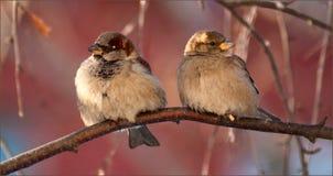 Δύο σπουργίτια στοκ φωτογραφία με δικαίωμα ελεύθερης χρήσης