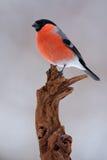 Συνεδρίαση Bullfinch στον κλάδο, κόκκινο Songbird με το γκρίζο υπόβαθρο, Sumava, Τσεχία Στοκ Εικόνα