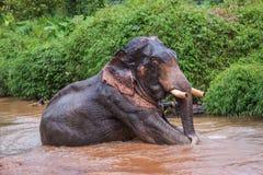 Συνεδρίαση Elefant στον ποταμό στο τροπικό δάσος του αδύτου Khao Sok Στοκ Φωτογραφία