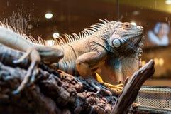 Συνεδρίαση Iguana σε έναν κλάδο στο terrarium στοκ φωτογραφίες