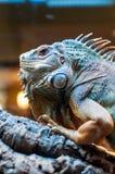 Συνεδρίαση Iguana σε έναν κλάδο στο terrarium στοκ εικόνες