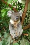 Συνεδρίαση Koala σε ένα δέντρο ευκαλύπτων στοκ φωτογραφία