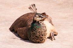 Συνεδρίαση Peacock Στοκ Εικόνες