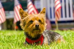 Συνεδρίαση Yorkie αρκετά με τις αμερικανικές σημαίες στοκ φωτογραφία