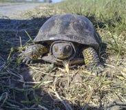 Συνηθισμένη χελώνα ποταμών Χελώνα στο φυσικό βιότοπο Στοκ εικόνες με δικαίωμα ελεύθερης χρήσης