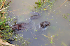Συνηθισμένος καφετής βάτραχος έλους δύο στην εποχή ζευγαρώματος θορίου την άνοιξη Στοκ Φωτογραφίες