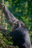 Συνηθισμένος χιμπατζής Στοκ φωτογραφία με δικαίωμα ελεύθερης χρήσης