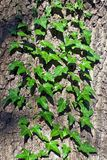 Συνηθισμένο κισσών ή αναρρίχηση κισσών (lat. Έλικας Hedera) στον κορμό του δέντρου στοκ εικόνες