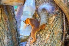 Συνηθισμένο σκιούρων σε ένα δέντρο δίπλα σε ένα πλαστικό μπουκάλι με τα τρόφιμα στοκ εικόνα