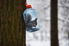 Συνηθισμένο σκιούρων σε ένα δέντρο σε ένα μεγάλο πλαστικό μπουκάλι με τα τρόφιμα Στοκ φωτογραφία με δικαίωμα ελεύθερης χρήσης
