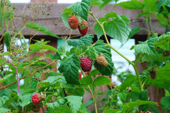 Συνηθισμένο σμέουρο (idaeus Rubus) Στοκ φωτογραφίες με δικαίωμα ελεύθερης χρήσης