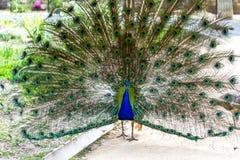 Συνηθισμένο Peacock με μια χαλαρή ουρά Στοκ Φωτογραφίες