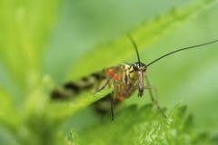 Συνηθισμένο scorpioness που αναρριχείται στα αλσύλλια nettle σε αναζήτηση των τροφίμων στοκ εικόνα με δικαίωμα ελεύθερης χρήσης
