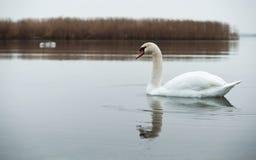 Συννεφιασμένος, κύκνοι, λίμνη, ποταμός, πουλιά, υδρόβια πουλιά Στοκ φωτογραφία με δικαίωμα ελεύθερης χρήσης