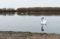 Συννεφιασμένος, κύκνοι, λίμνη, ποταμός, πουλιά, υδρόβια πουλιά Στοκ Φωτογραφία