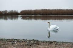 Συννεφιασμένος, κύκνοι, λίμνη, ποταμός, πουλιά, υδρόβια πουλιά Στοκ Εικόνες