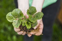 συντήρησης περιβαλλοντικές αγροτών φρέσκες χεριών εκμετάλλευσης νεολαίες συμβόλων φυτών ζωής νέες Στοκ Φωτογραφία