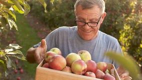 Συνταξιούχος στη χώρα με τη συγκομιδή μήλων του Το άτομο χαμογελά ευτυχώς και κρατά ένα ξύλινο κιβώτιο με τα κόκκινα μήλα απόθεμα βίντεο