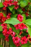 Συντομότερος δρόμος - ένα γένος των ανθίζοντας φυτών της οικογένειας Balsaminov στοκ εικόνες με δικαίωμα ελεύθερης χρήσης