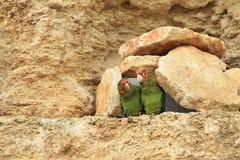 Συνδεμένος λοξά parakeets Στοκ Φωτογραφία