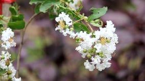 Συνδετήρας του άσπρου άνθους rosea Tabebuia απόθεμα βίντεο