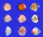 Συνδυασμένα ψάρια Discus στοκ εικόνα