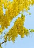 Συρίγγιο της Cassia ή χρυσό δέντρο ντους Στοκ εικόνα με δικαίωμα ελεύθερης χρήσης